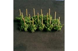 Pole Beans (14) - 00911